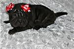 Picture of MINIATURE CHINESE SHAR-PEI BABY GIRL