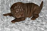 Picture of MINIATURE CHINESE SHAR-PEI