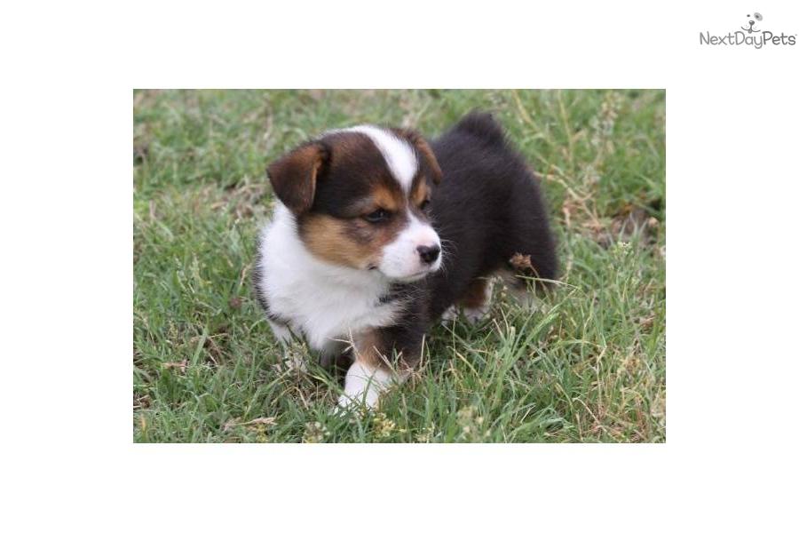 Mini Corgi Puppies For Sale >> Welsh Corgi, Pembroke puppy for sale near Austin, Texas | 0185fb4d-6ae1