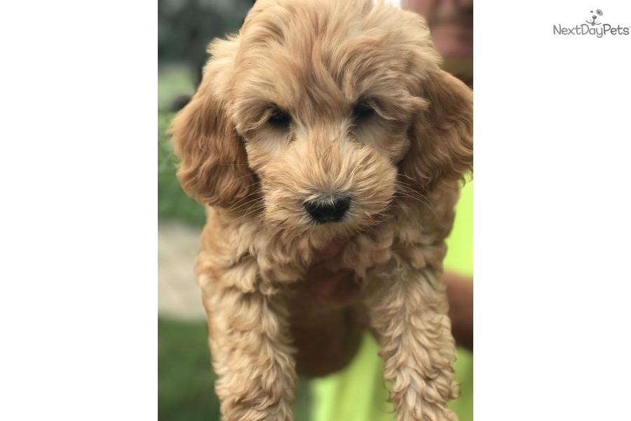 Labradoodle Puppy For Sale Near Grand Rapids Michigan 21d61cb6 68c1