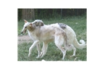 Picture of a Borzoi Puppy