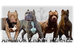 Featured Breeder of American Pit Bull Terriers with Puppies For Sale