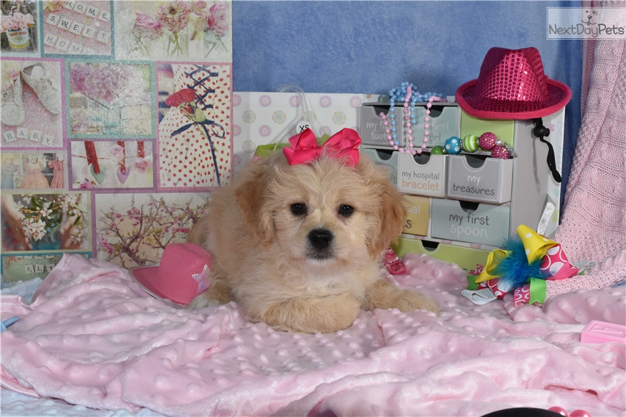 Cavachon Puppy For Sale Near Washington Dc – Fondos de Pantalla