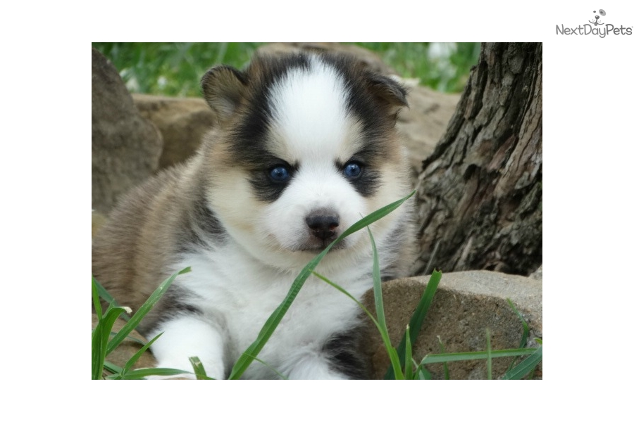 Pomsky Puppies For Sale Local Puppy Breeders - oukas info