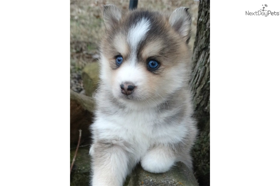 Ginger Pomsky Puppy For Sale Near Central Nj New Jersey 2626ccab