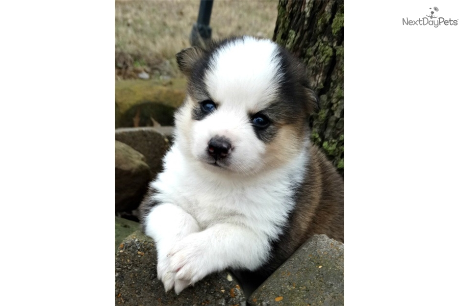 Bentley Pomsky Puppy For Sale Near Central Nj New Jersey