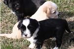 Featured Breeder of Tibetan Terriers with Puppies For Sale