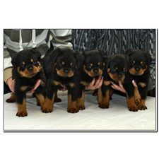 View full profile for Vom Bullenfeld Rottweilers
