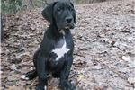 Great Dane for sale
