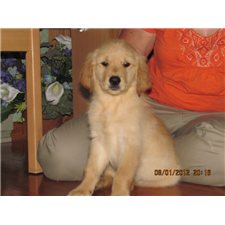View full profile for Northland Goldens