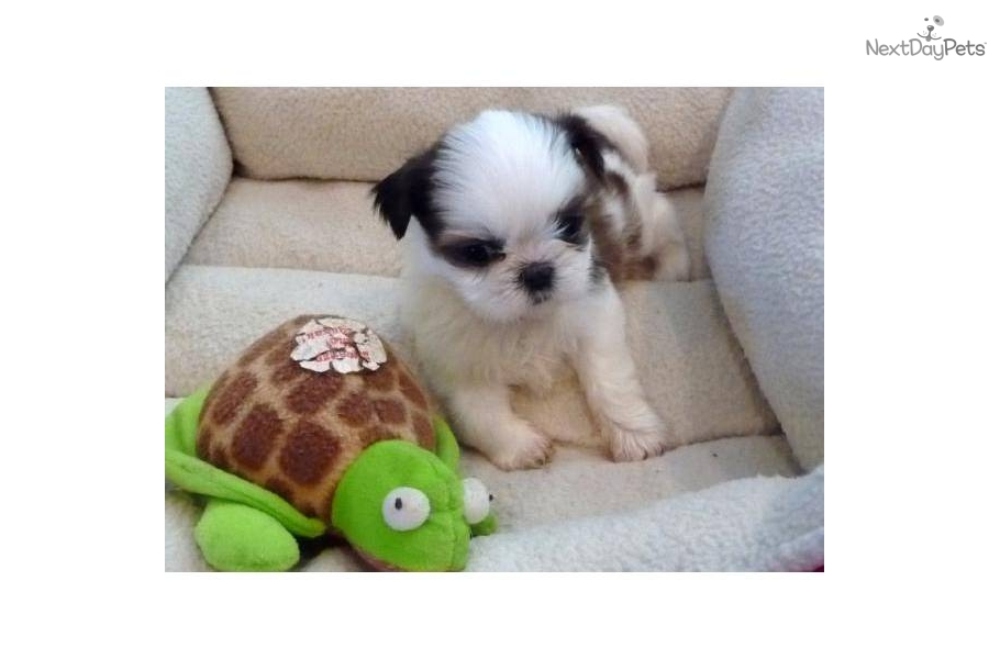 shih tzu breeders in md shih tzu for sale for 800 near frederick maryland 5253