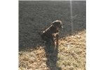 Picture of a Catahoula Leopard Dog Puppy