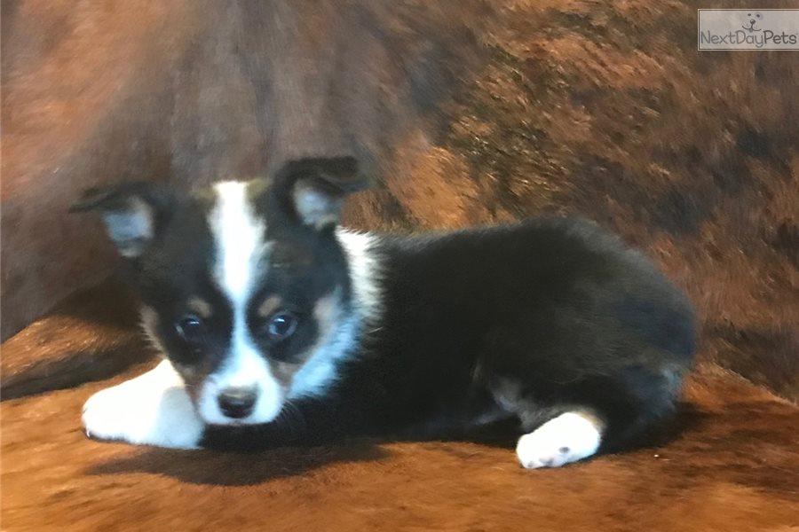 Jack: Corgi puppy for sale near In Romania