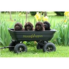 View full profile for Monark Puppies