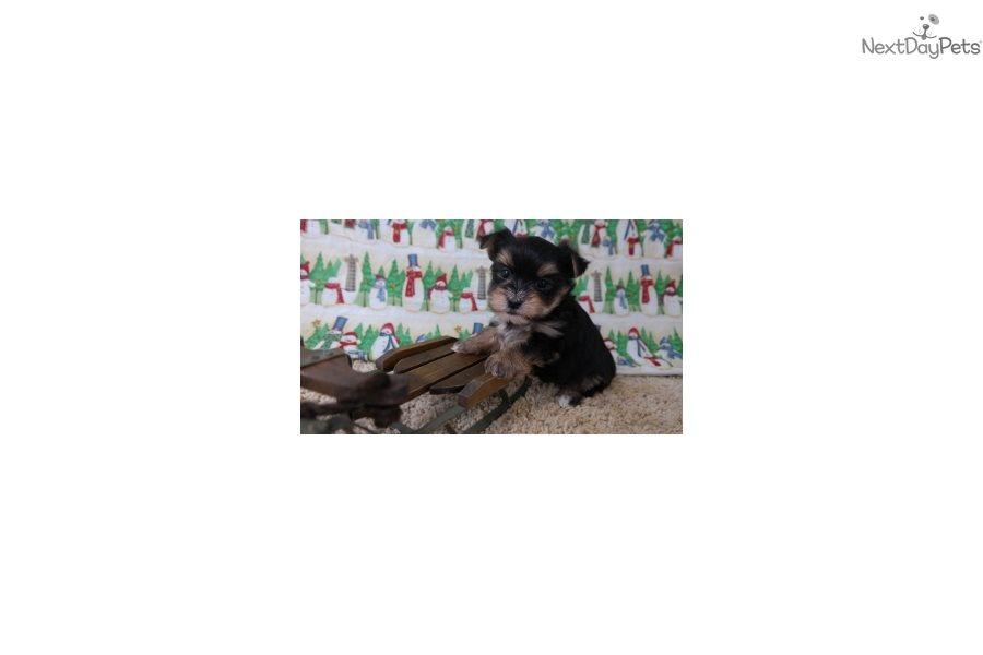 Morkie / Yorktese puppy for sale near Cedar Rapids, Iowa