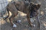 Greyhound for sale