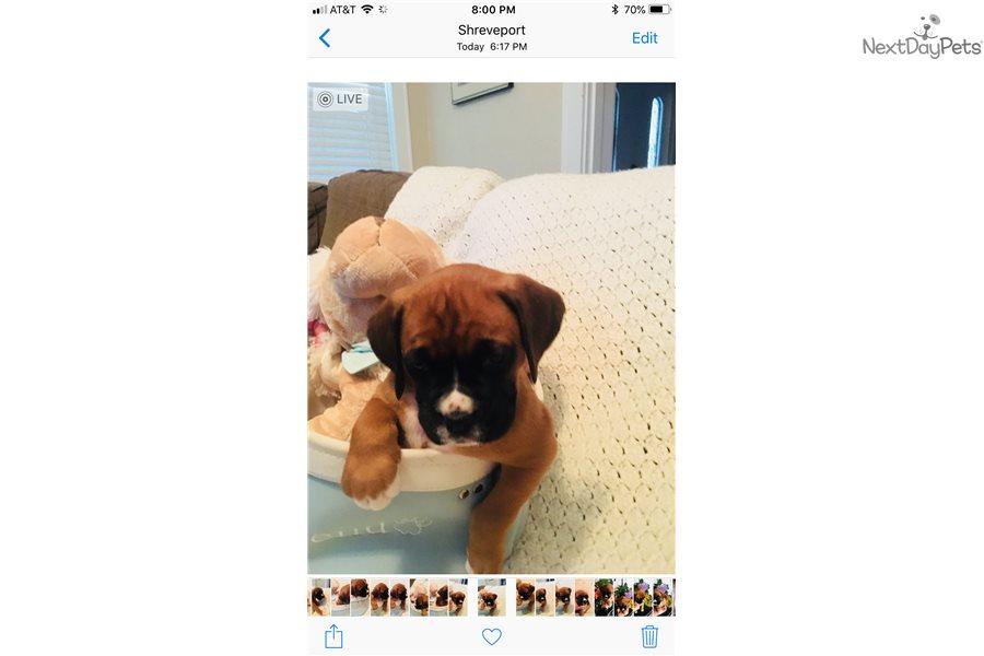 Tattoo Aka Tramp Boxer Puppy For Sale Near Shreveport Louisiana