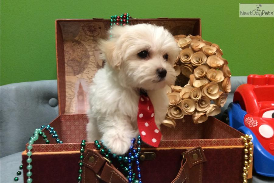 Dewy Malti Poo Maltipoo Puppy For Sale Near Jacksonville Florida 3bbc4c47 Ff91