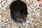 Picture of Cute Shihpoo