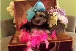 Picture of Female Black and Brown Maltese Yorkie