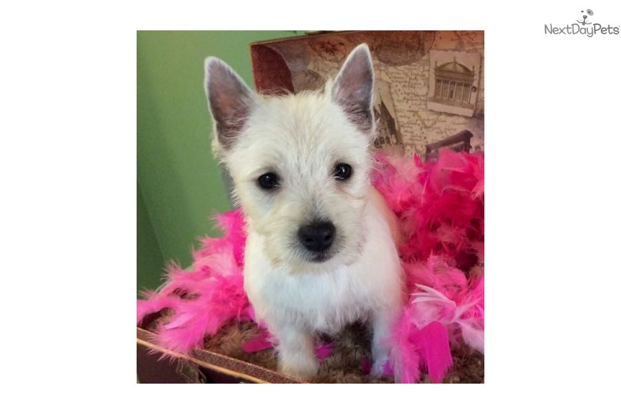 Bonnie: West Highland White Terrier - Westie puppy for sale near