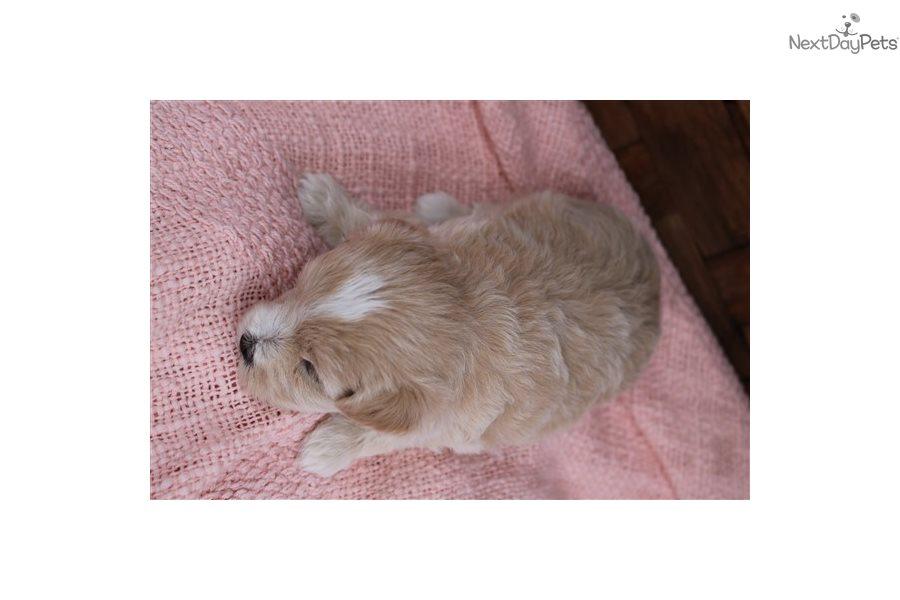 Cavapoo puppy for sale near Monroe, Louisiana.   16be5a6f-1211