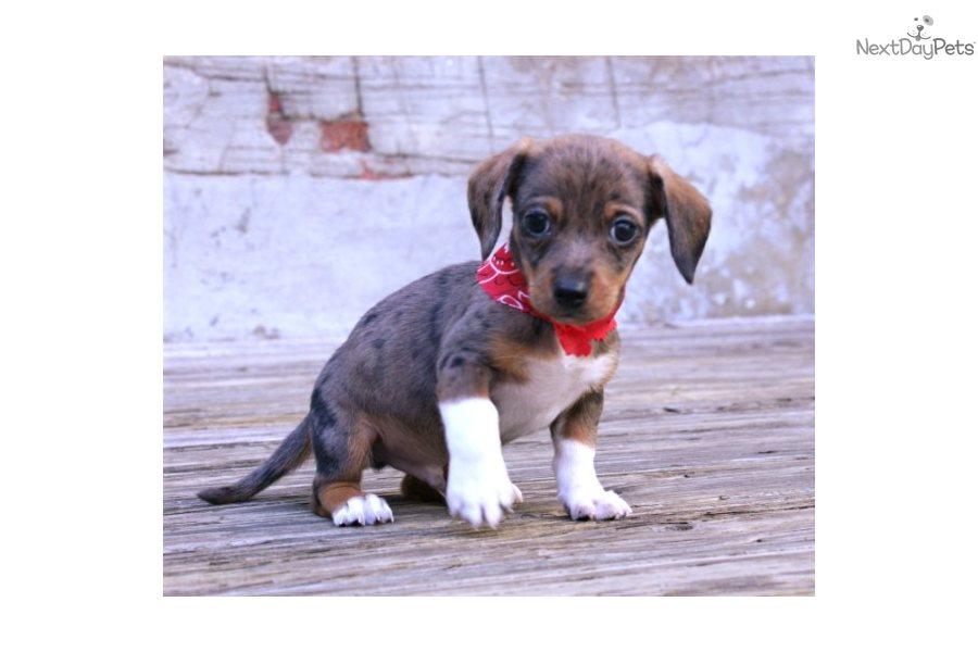 Meet Jackson A Cute Dachshund Mini Puppy For Sale For