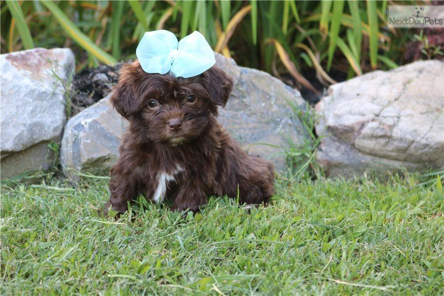 Havanese puppy for sale near Monroe, Louisiana. | 600b3e24 ...