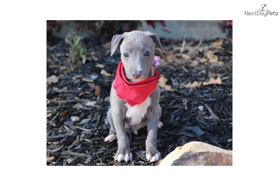 Small Dog Breeds For Sale In Monroemi