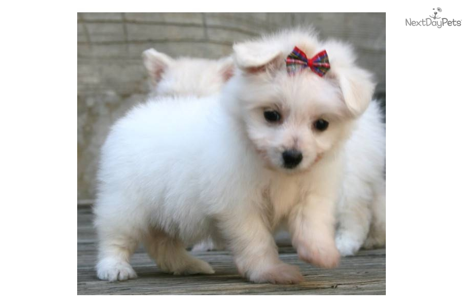 Meet Peaches a cute Pomeranian puppy for sale for $400 ...