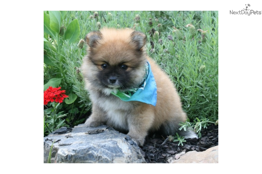 pomeranian groomer near me max pomeranian puppy for sale near monroe louisiana 3545