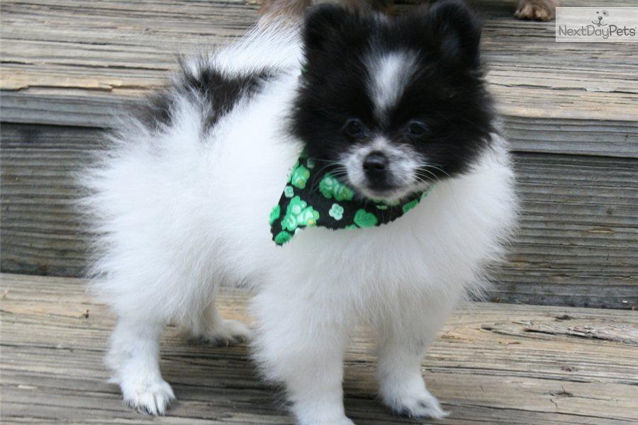 Meet Panda A Cute Pomeranian Puppy For Sale For 400 Panda
