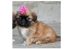Picture of a Pekingese Puppy