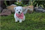 Picture of Baylor  WestiPoo
