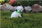 Picture of Bear   WestiePoo