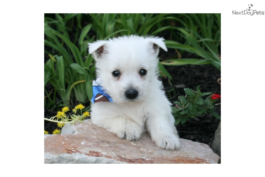west highland terrier for sale near me west highland white terrier westie puppy for sale near 6828