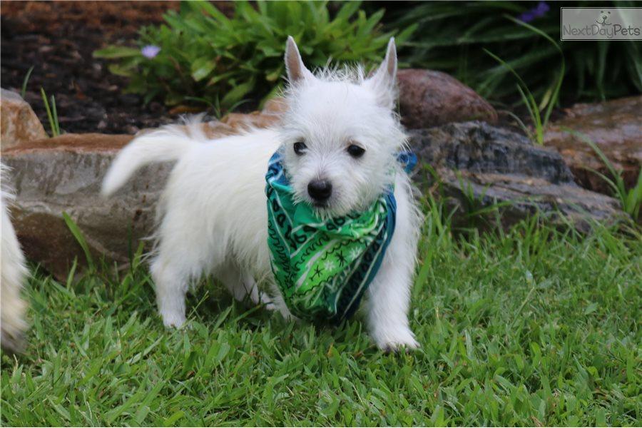 West Highland White Terrier - Westie puppy for sale near Louisiana USA
