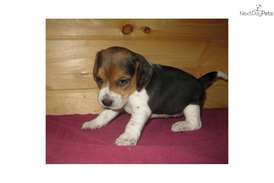 1 Year Female Beagle Cross Dog For Adoption: Beagle Puppy For Sale Near Southeast Missouri, Missouri