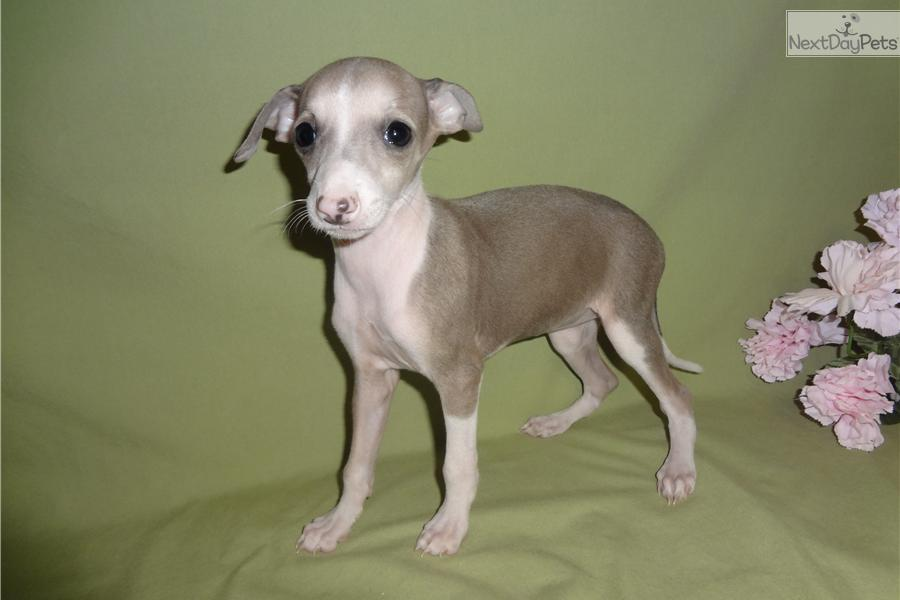 Italian Greyhound puppy for sale near Springfield ...