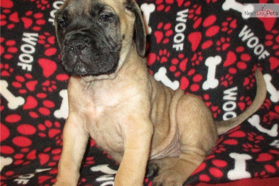 Hogan: Mastiff puppy for sale near Springfield, Missouri