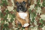 Picture of AKC registered male Boxer puppy