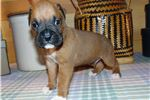 Picture of AKC registered male Boxer puppy (Gibbs)