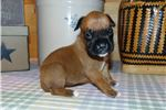 Picture of AKC registered female Boxer puppy (Gabby)