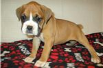 Picture of AKC registered female Boxer puppy (Delilah)
