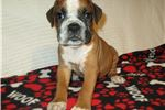 Picture of AKC registered male Boxer puppy (Dodge)