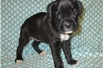Picture of AKC registered female Boxer puppy-Muffin