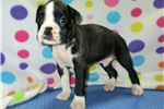 Picture of AKC registered male Boxer puppy nicknamed Duke