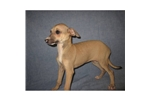 Picture of an Italian Greyhound Puppy