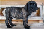 Picture of AKC registered male English Mastiff puppy-Nitro