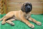 Picture of AKC registered female English Mastiff puppy-Haylee